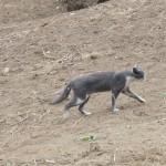 ヒマヤラの猫